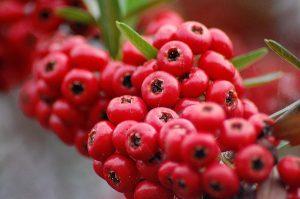 Червените боровинки и ядки за изящна коса и гладка кожа