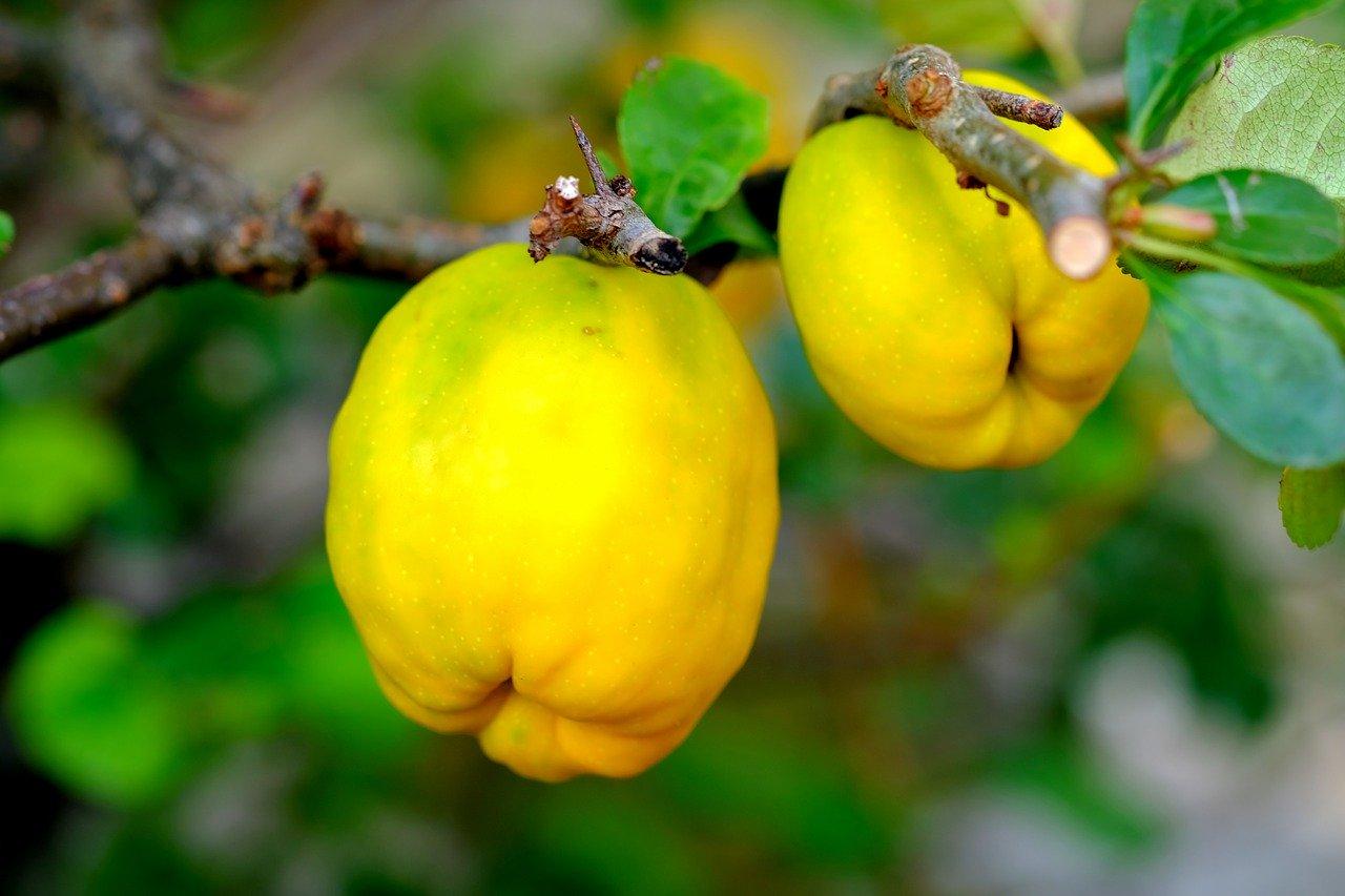Есенни плодове за здраве и красота - дюля