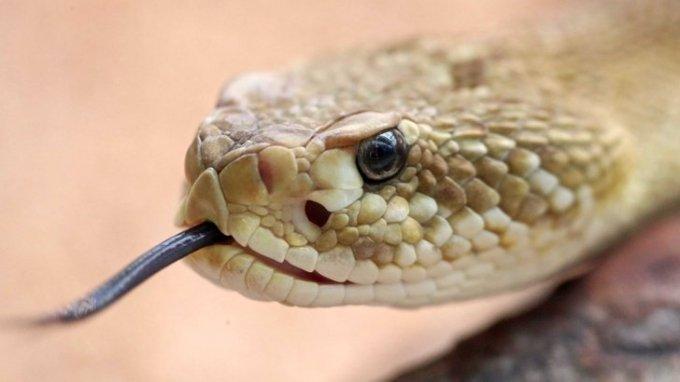 Гърмящата змия