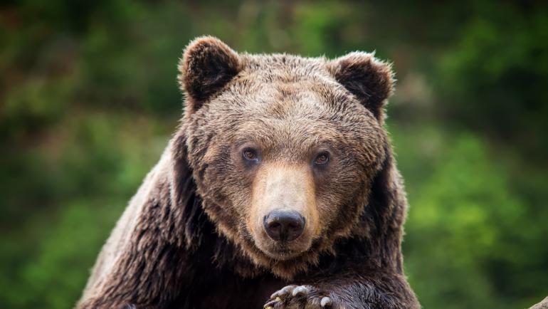 сибирската кафява мечка